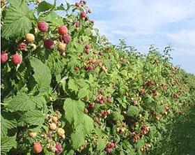 Осенняя посадка малины кустовым способом Сайт о саде, даче и
